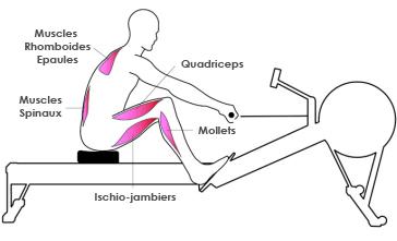Muscles rameur : phase de récupération