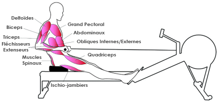 Muscles rameur : fin du geste